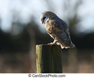 Barn Owl pearched on a tree stump