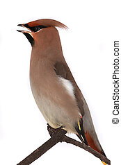 Bohemian Waxwing -  Bohemian Waxwing on a white background