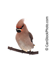 Bohemian Waxwing on a white background