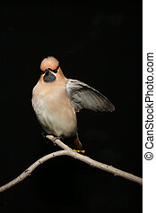 Bohemian Waxwing on a black background