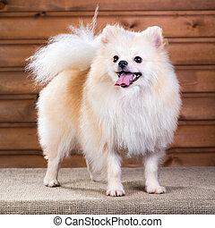 Portrait Pomeranian dog - Studio portrait Pomeranian dog on...