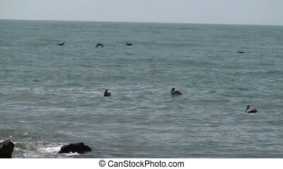Pelicans floating and flying by