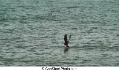 Two pelicans diving for food in the ocean