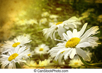 daisies - Beautiful field of daisy flowers in grunge...