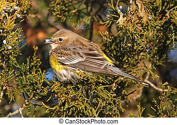 Yellow-rumped Warbler Dendroica coronata perched in a cedar...