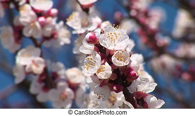 Blossoming almond.