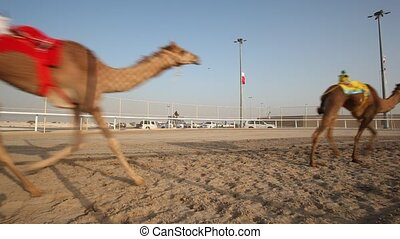 Camel race in Doha - Traditional camel race in Doha, Qatar,...