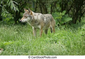wolf - single wolf