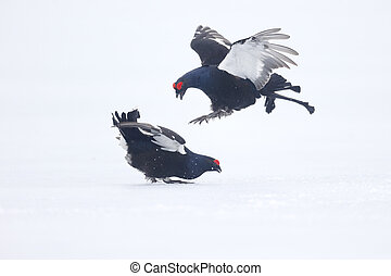 Black grouse, Tetrao tetrix, two males fighting on snow,...