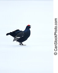 Black grouse, Tetrao tetrix, single male on snow, Finland,...