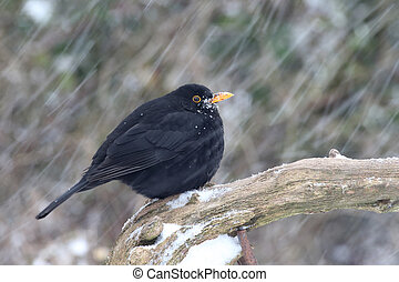 Blackbird, Turdus merula, single male on branch in snow,...