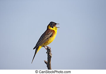 Black-headed bunting, Emberiza melanocephala, single male on...