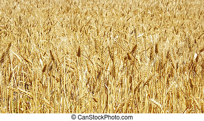 Ripe spikes of wheat background