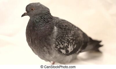 pigeon on a white background close up