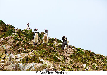 South American penguins coast at Paracas National...