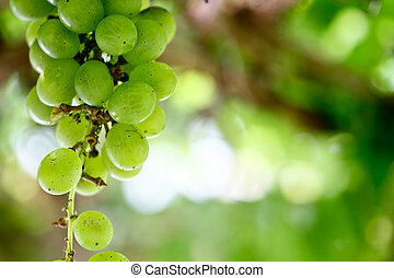 Green Grapes 5 - a binch of green grapes hanging from the...