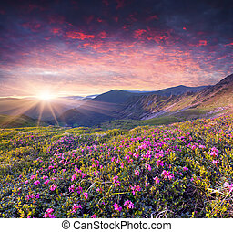 Magic pink rhododendron flowers in the summer mountain....