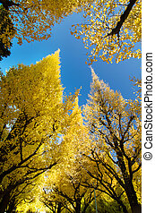 Ginkgo trees against blue sky, worm eye view - The ginkgo...