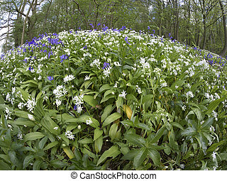 Bluebells and Ramsons, Hyacinthoides non-scriptaand and...