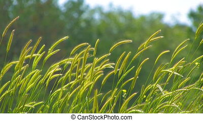 Spikelets of grass in the wind.