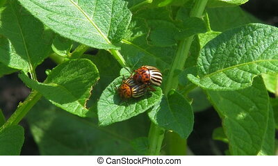 Colorado beetles - Colorado beetles on potato leaves