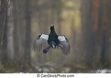 Capercaillie, Tetrao urogallus, single male in snowy forest...