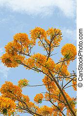 Peacock flowers on tree