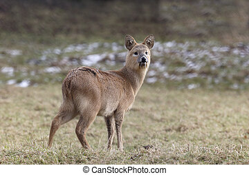Chinese water deer, Hydropotes inermis, single mammal on...