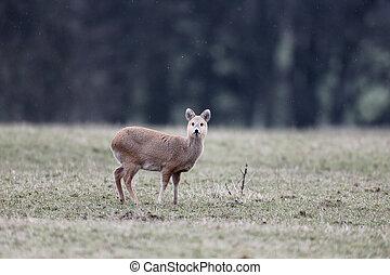 Chinese water deer, Hydropotes inermis, single mammal on...