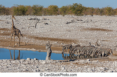 Zebras at waterhole - Side view of group of zebras and...