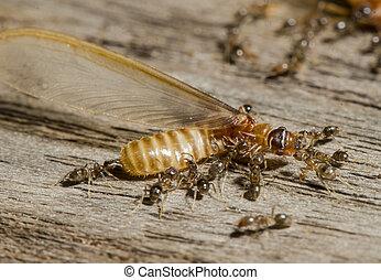 hormigas, lucha, Termitas