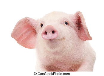 Portrait of a pig - Portrait of a cute pig, on white...