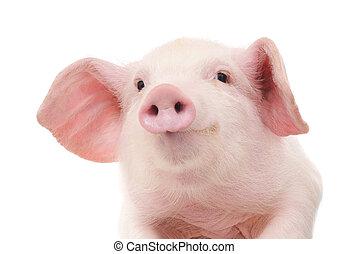 retrato, cerdo
