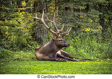 Male Bull Elk - A male bull elk sitting on the grass at the...