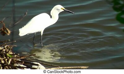 Small Egret Catching Breakfast - Small Egret catching...