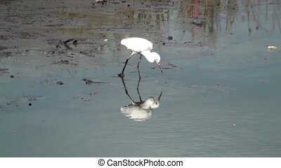 White Egret Catching Food - White Egret catching food in the...