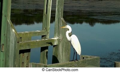 White Egret on a dock