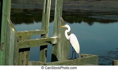 White Egret on a dock