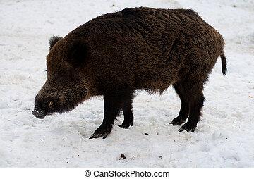 Wild boar in winter forest - Wild boar in the winter forest