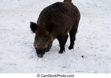 Wild boar in winter forest - Wild boar in the winter forest