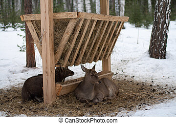 Deer and roe deer lying at the feeder in the winter
