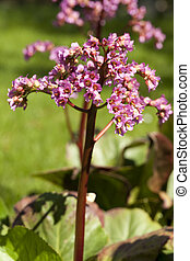 Bergenia Moench - pink little flower Bergenia Moench in...