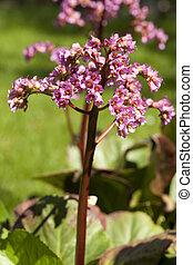 Bergenia Moench - pink little flower (Bergenia Moench) in...