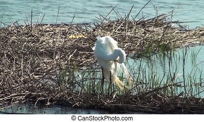 White Egret Preening - White Egret preening in the marsh