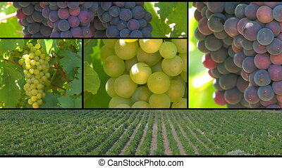 Grapes montage Vineyards Golden beam Ukraine, Crimea,...
