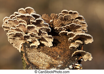 Schizophyllum commune - little mushrooms group Schizophyllum...