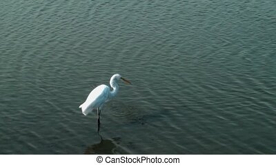 White Egret searching for food