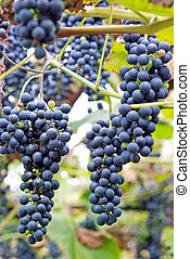 Grapes growing on a wine with blurry background
