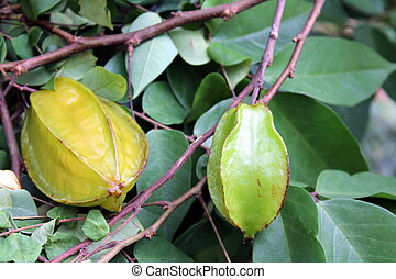 Zanzibar Star Fruit - Star Fruit