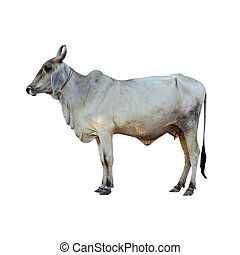 Ox on white background with Clipping Part - Cow on white...